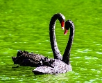 How the Black Swan Changes the World